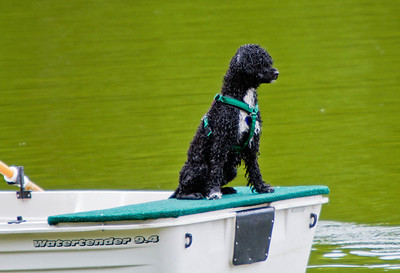 Portuguese Water Dog - Cary NC 2013